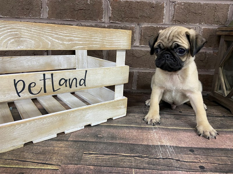 Pug-Male-Fawn-2949467-Petland Knoxville