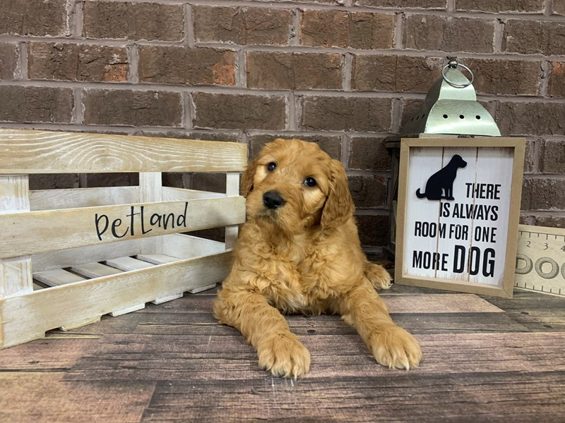 Goldendoodle-DOG-Male-Red-2950472-Petland Knoxville
