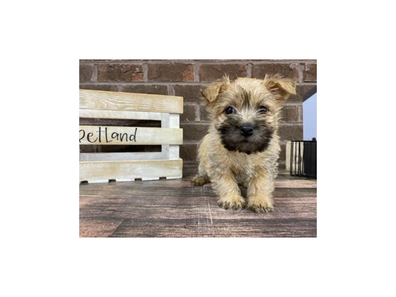 Cairn Terrier-Female-Wheaten-2959562-Petland Knoxville