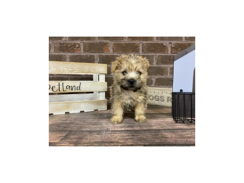 Cairn Terrier-Male-Wheaten-2959561-Petland Knoxville
