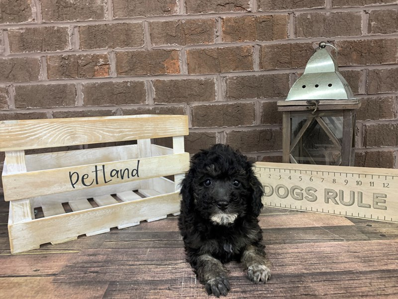 Poodle-Male-PHANTOM-2963176-Petland Knoxville