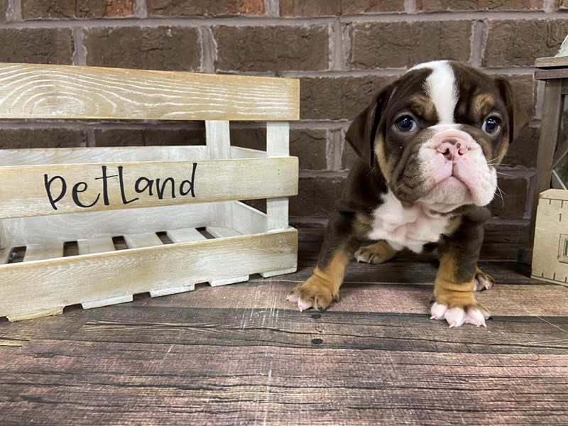 English Bulldog-Male-Chocolate Tri-2967170-Petland Knoxville