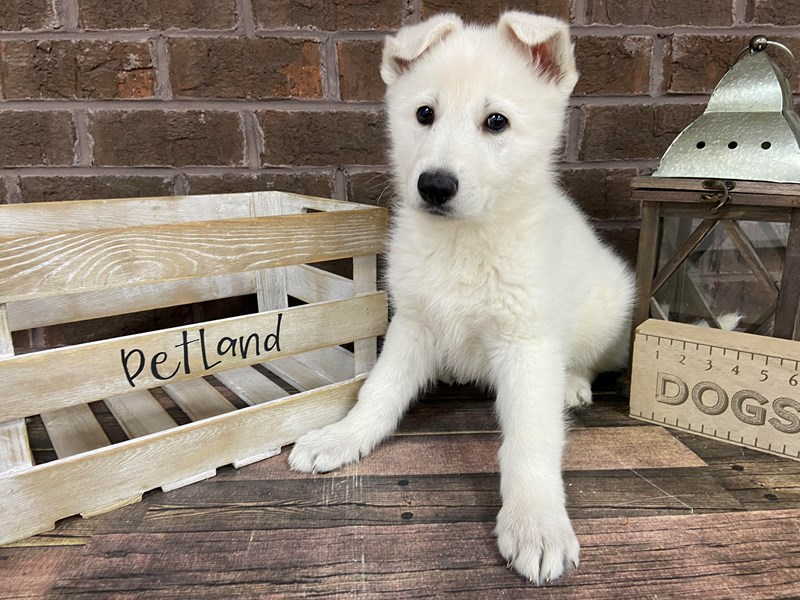 German Shepherd-Male-White-2966456-Petland Knoxville