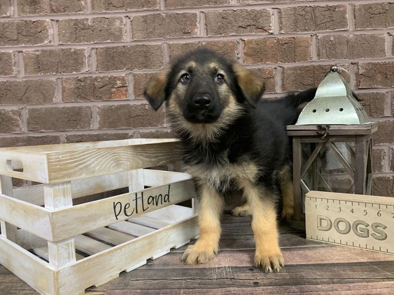 German Shepherd-Male-Black-2966257-Petland Knoxville