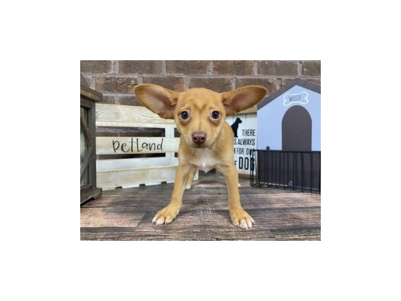 Chihuahua-Male-FAWN  WH-2940835-Petland Knoxville