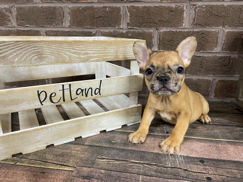 French Bulldog-Female-Fawn Merle-2949469-Petland Knoxville