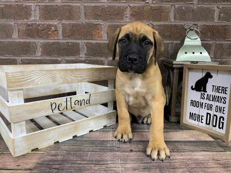 Bullmastiff-Male-Red Fawn-2951174-Petland Knoxville
