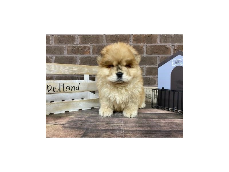 Chow Chow-DOG-Male-Red Merle-2959256-Petland Knoxville