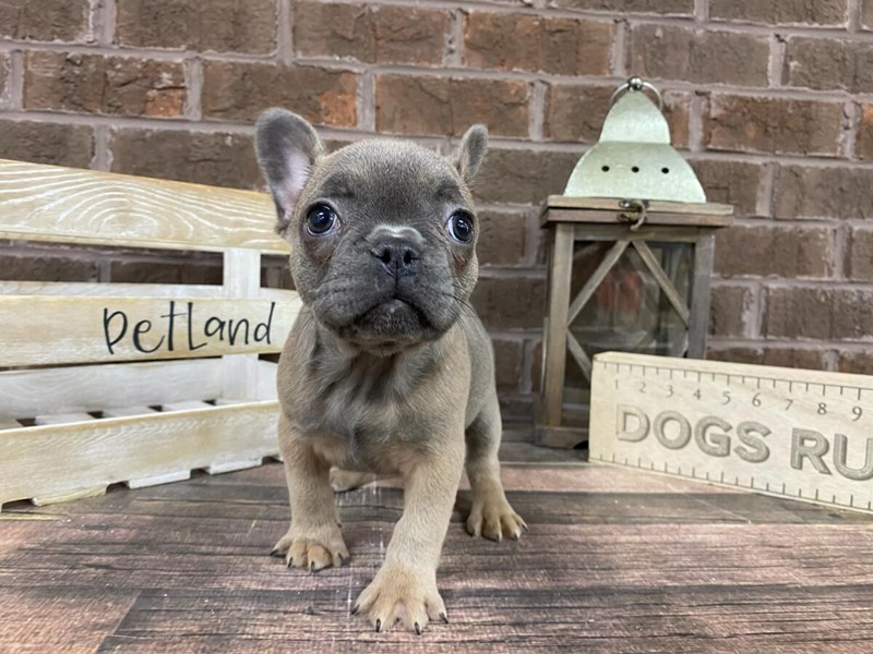 French Bulldog-Female-Blue Fawn-2975314-Petland Knoxville