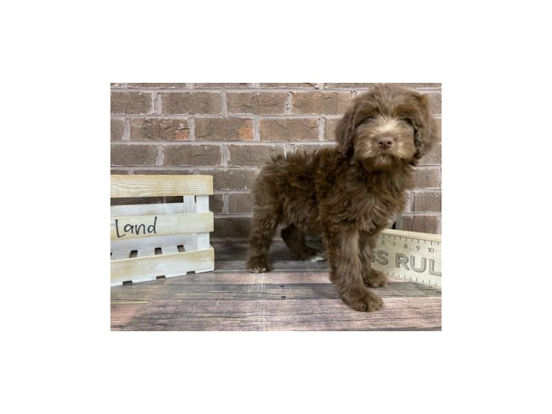Goldendoodle-Female-Chocolate-2992479-Petland Knoxville