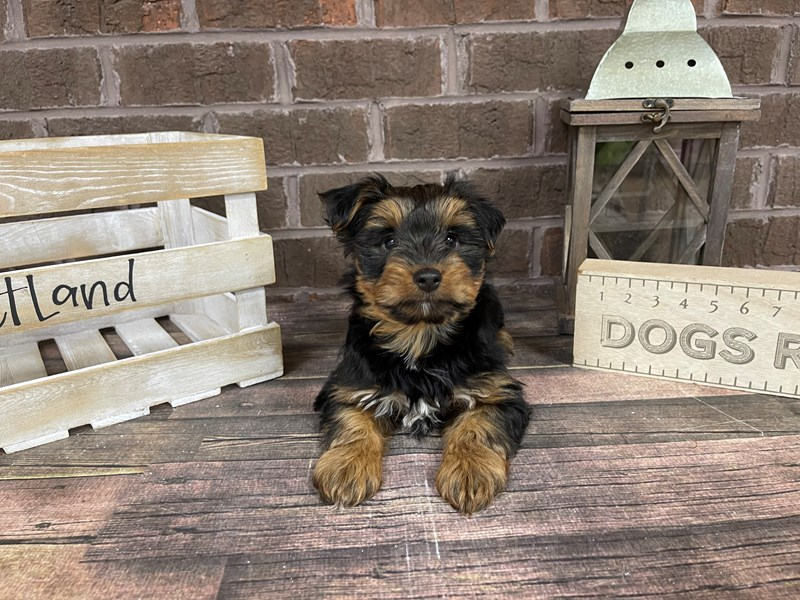 Yorkshire Terrier-Male-BLK TAN-2996596-Petland Knoxville