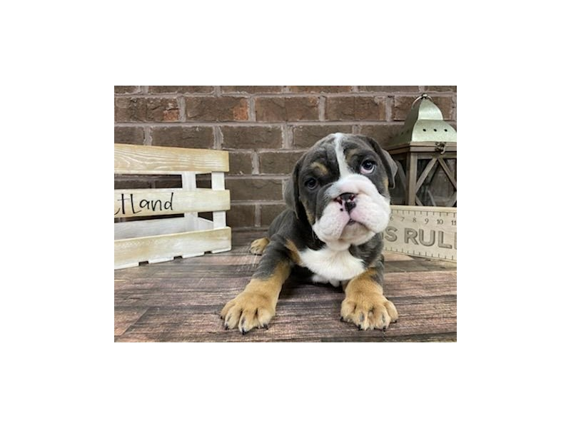 English Bulldog-Male-Tri-2999897-Petland Knoxville