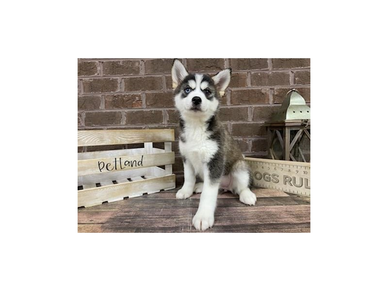Pomsky-DOG-Female-Black / White-2999851-Petland Knoxville