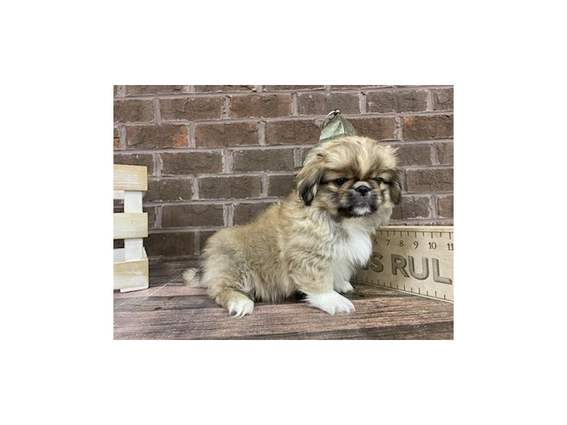 Pekingese-Male-Fawn-3018963-Petland Knoxville