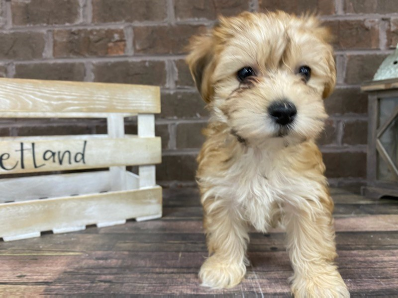 Morkie-Female-BLK TAN-3014879-Petland Knoxville