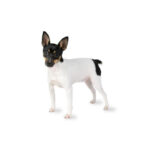 Petland Knoxville Toy Fox Terrier