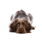 Petland Knoxville German Wirehaired Pointer