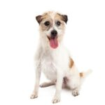 Petland Knoxville Jack Russell Terrier