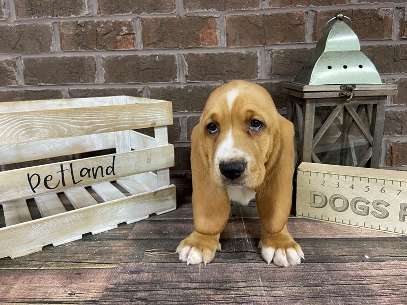 Basset Hound-Female-Red-2982904-Petland Knoxville
