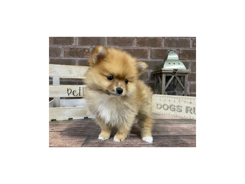 Pomeranian-Male-Red-2989154-Petland Knoxville