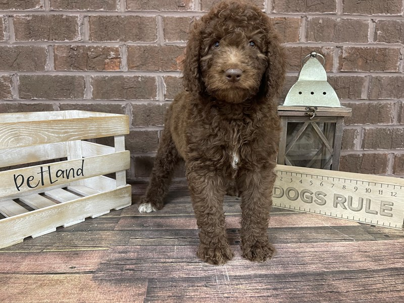 Goldendoodle-Female-Chocolate-2992482-Petland Knoxville