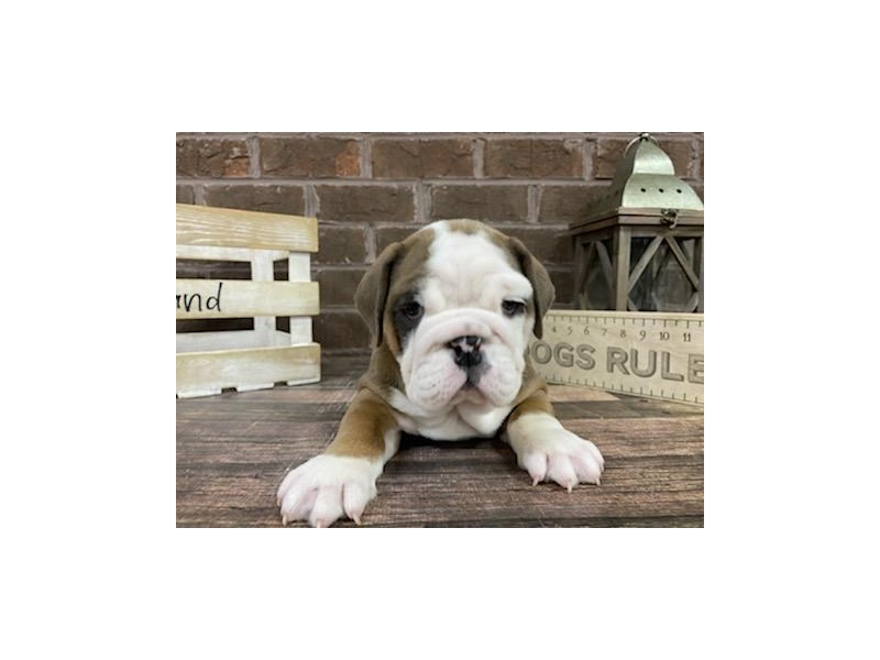 English Bulldog-Female-Brown / White-2999885-Petland Knoxville