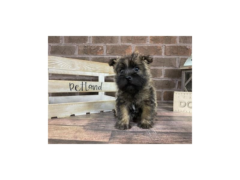 Cairn Terrier-Female-Wheaten-3009116-Petland Knoxville
