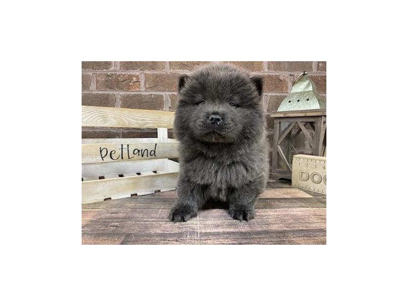 Chow Chow-DOG-Female-Blue-3019458-Petland Knoxville