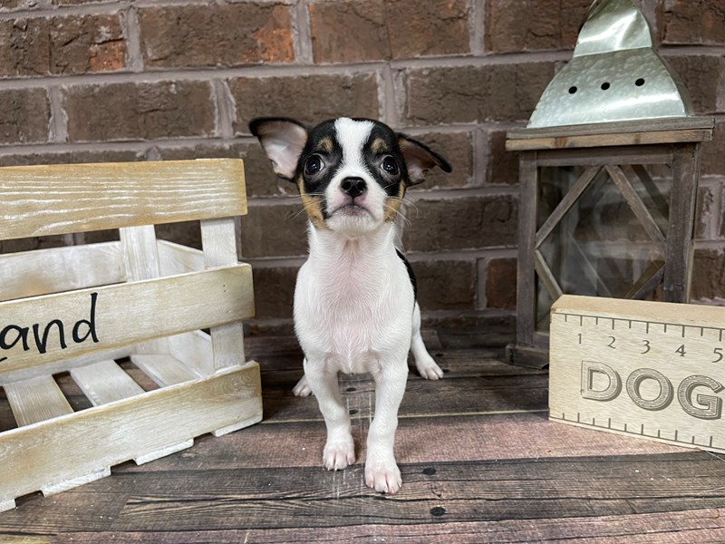 Chihuahua-Female-BLK WHITE-3025207-Petland Knoxville