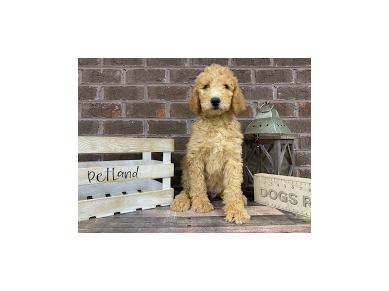 Goldendoodle-DOG-Male-Red-3028995-Petland Knoxville