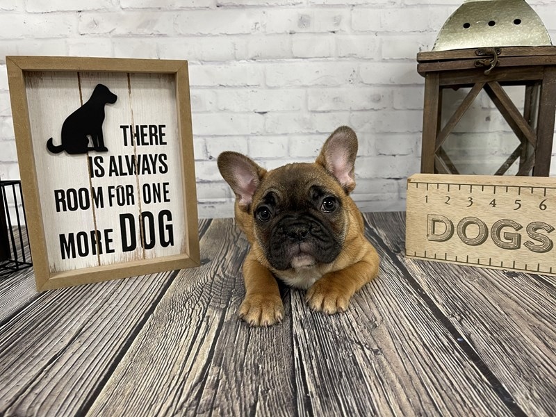 French Bulldog-Male-Fawn-3048223-Petland Knoxville