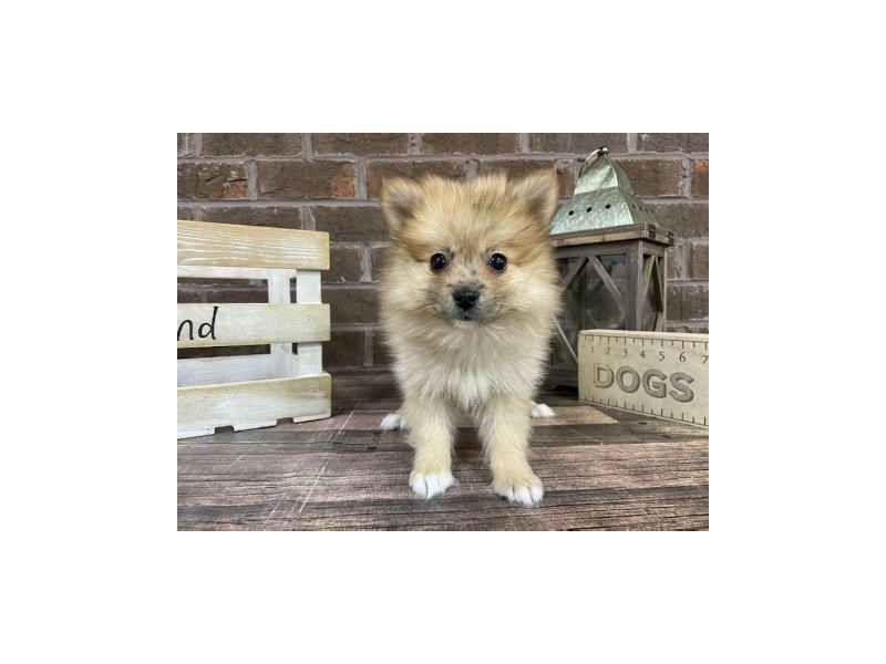 Pomeranian-Female-Red-3019007-Petland Knoxville