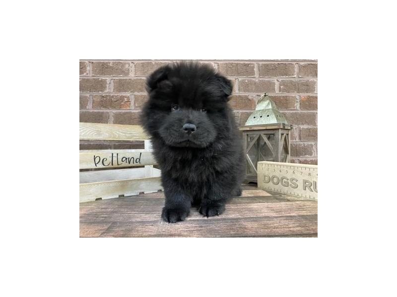 Chow Chow-Male-Black-3019459-Petland Knoxville