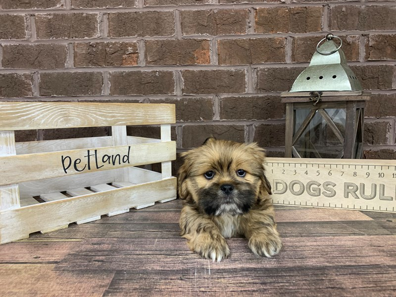 Lhasa Apso-Male-Gold-3028134-Petland Knoxville
