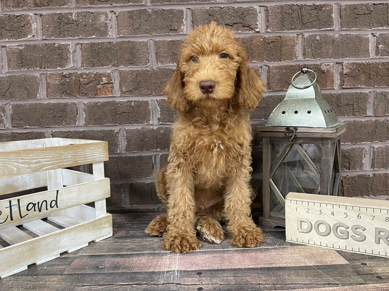 Labradoodle-Male-Red-3024736-Petland Knoxville