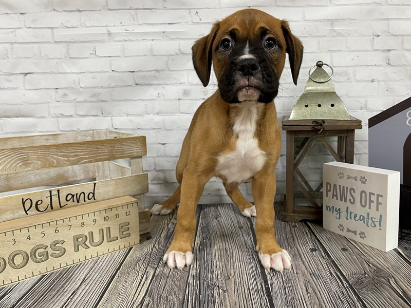 Boxer-Male-Fawn white-3055190-Petland Knoxville