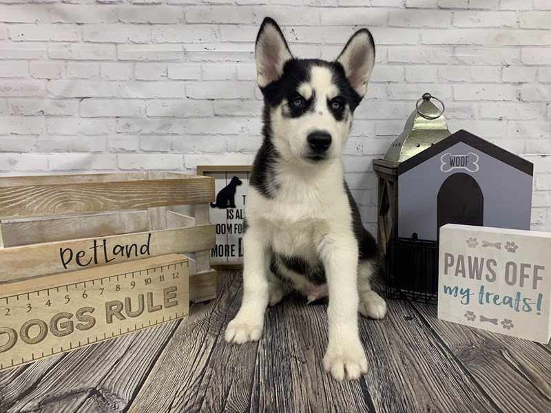 Siberian Husky-Male-Black and White-3076678-Petland Knoxville