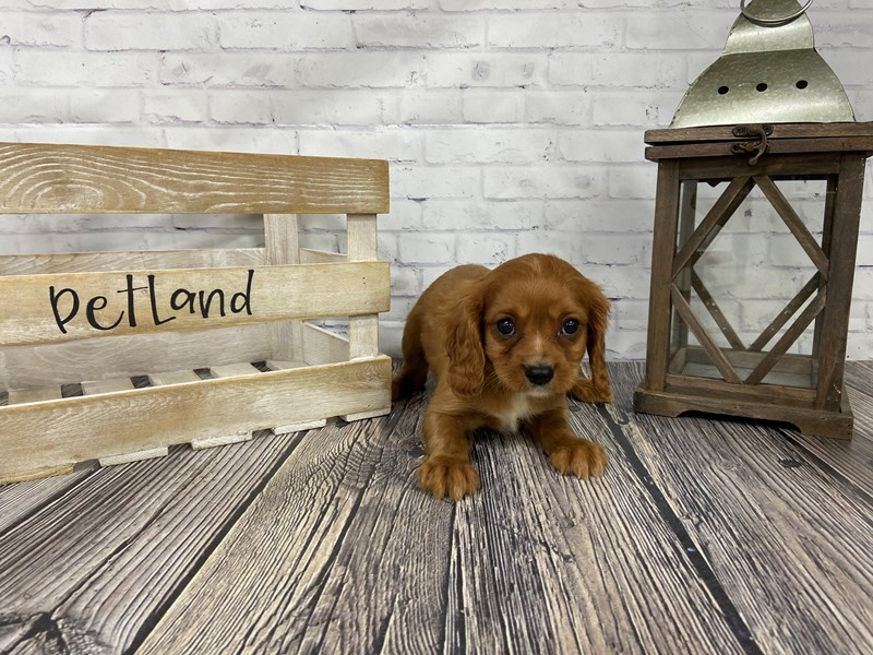 Cavalier King Charles Spaniel-Male-Red-3098819-Petland Knoxville