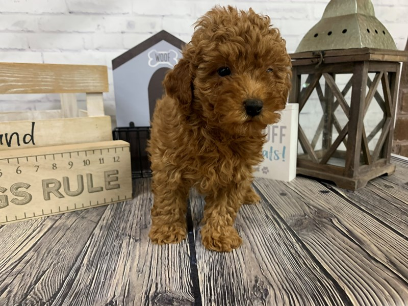 Miniature Poodle-Male-Red-3098859-Petland Knoxville