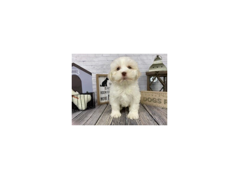 Shih Poo-Male-Gold / White-3039486-Petland Knoxville