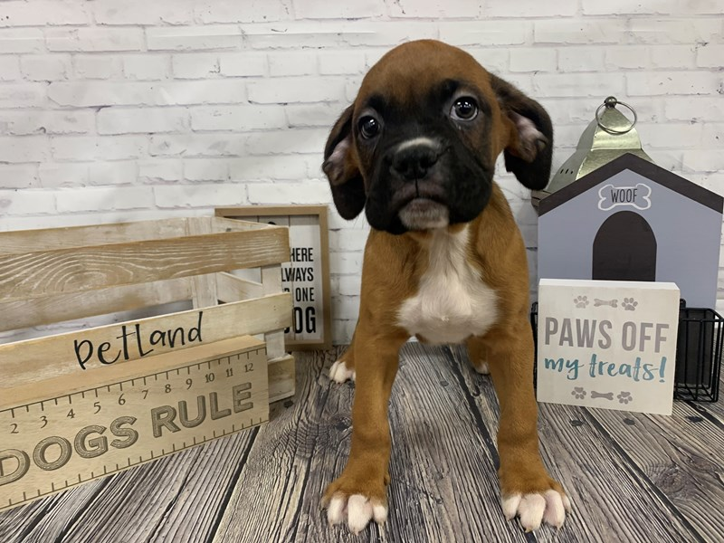 Boxer-Male-Fawn White-3076725-Petland Knoxville