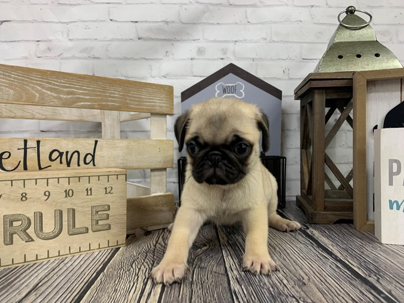 Pug-Male-Fawn-3113942-Petland Knoxville