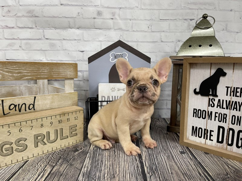 French Bulldog-DOG-Male-Fawn Merle-3127344-Petland Knoxville