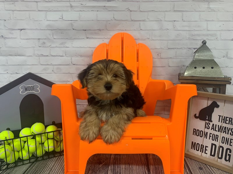 Yorkshire Terrier-Male-BLK TAN-3141807-Petland Knoxville