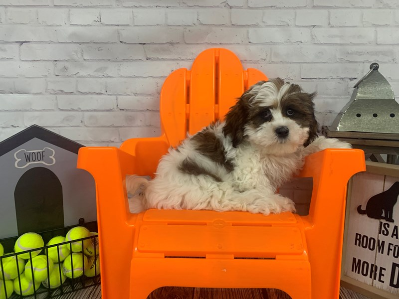 Lhasa Apso-Female-BRN WH-3141615-Petland Knoxville