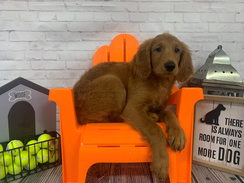 Goldendoodle-Male-Red-3144899-Petland Knoxville