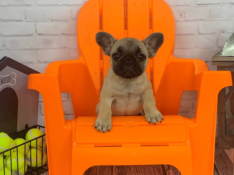 French Bulldog-Female-Fawn-3155628-Petland Knoxville
