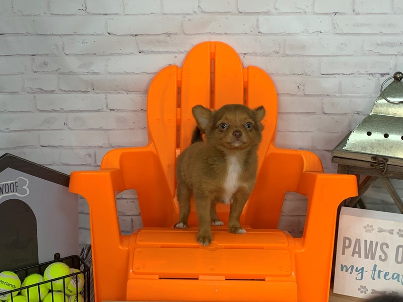 Chihuahua-Female-Red-3167080-Petland Knoxville