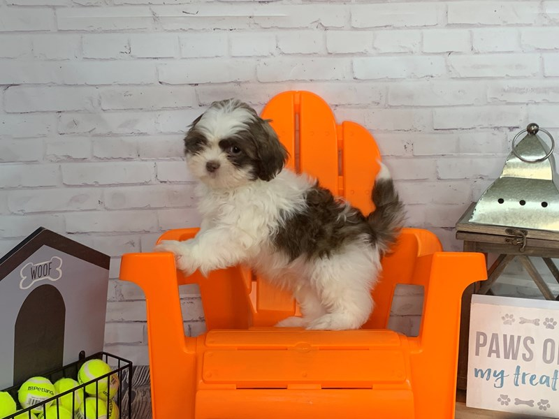 Shih Tzu-Male-BROWN WH-3163765-Petland Knoxville