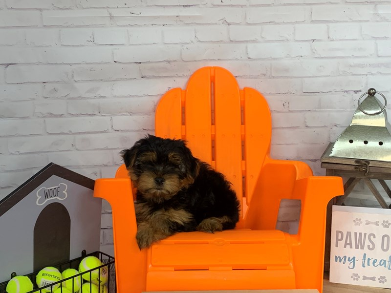 Yorkshire Terrier-DOG-Male-Black / Tan-3166950-Petland Knoxville